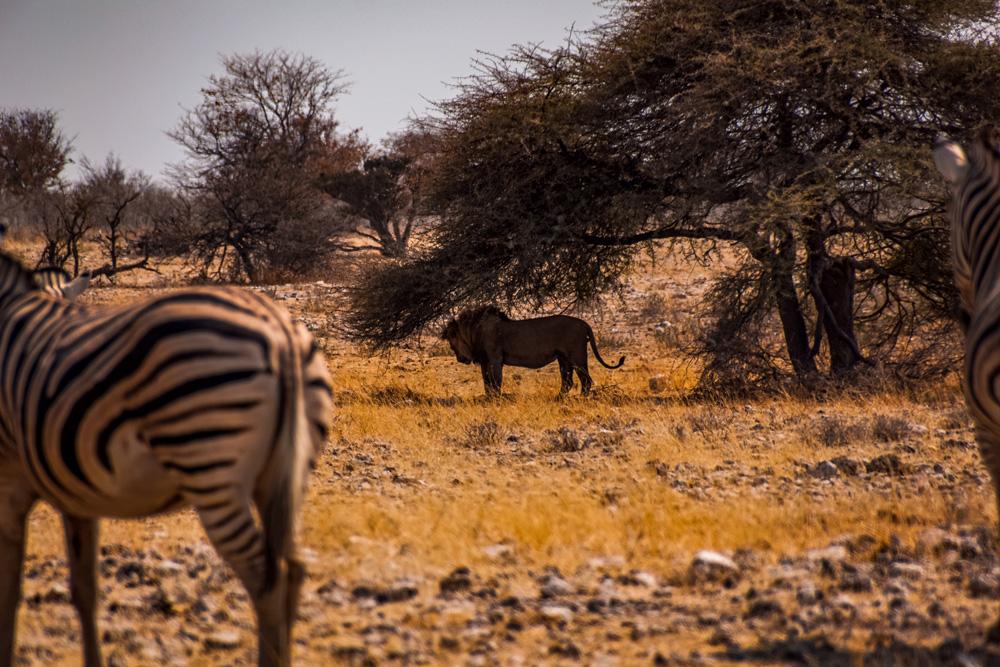 Namibie bezienswaardigheden Etosha Nationaal Park 2 - Reisroute: langs de bezienswaardigheden van Namibië